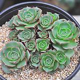 환엽롱기시마(S162)|Echeveria longissima