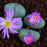 Conophytum ssp 267|