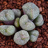 Conophytum truncatum roodiae 루디아에 298|