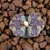 Conophytum pellucidum terricolor 테리컬러 300|