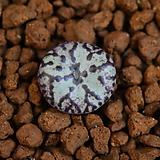 Conophytum obcordellum 옵코델룸 315|