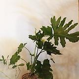 호프셀럼 빈티지토분세트+분갈이+마사(수형 너무예뻐욤)약 45~50cm/빈티지토분 (대)|