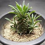 괴마옥-9302|Euphorbia hypogaea