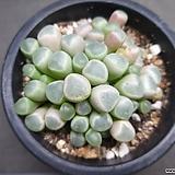 오십령옥-9301|Fenestraria aurantiaca