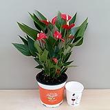 미니 안시리움(신품종)|Anthurium andraeaeanum