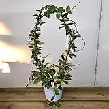 꽃피는호야(꽃대있어요!)|Hoya carnosa