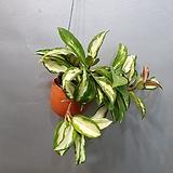 귀요미 핑크호야걸이( 햇빛에 놓으면 색상이 핑크색으로 변해요)|Hoya carnosa
