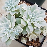 리틀장미금45|Echeveria prolifica