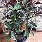 멜라니고무나무(높이75/너비50)엄청튼튼한 인기쟁이~|Ficus elastica
