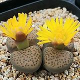 펄비십스리톱스-대품(꽃수정)|