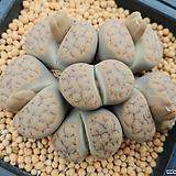 펄비십스자연군생리톱스|Lithops