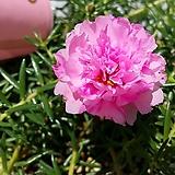 분홍(겹꽃채송화)|