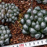 대자(大紫)-07-10  자색이 더욱 짙으며, 훨씬 대형으로 성장하는 특징을 가지고있습니다. 윤택도 훨씬 많아 더욱 돋보입니다.