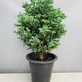 블루버드비단삼나무 (굵은외목수형) 동일품배송|