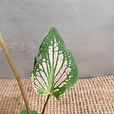 칼라데아 무늬종(수입식물) 동일상품으로 배송해요|