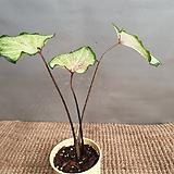 칼라데아무늬종(수입식물) 동일상품으로 배송해요|