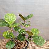 피커스텔토이데아(수입식물) 고무나무 (대품)  잎이 넓어요 (한정판)|