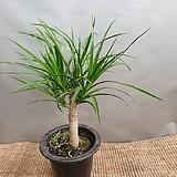 귀요미드라코( 수입식물)  새로입고 높이(55-70)|