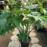 호프셀렘(대품)높이 70-80 잎이넓어 공기정화식물이에요|