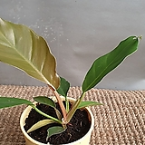 필로덴드론플루토(수입식물)  새로입고|