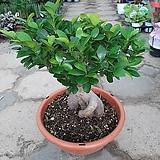 인삼펜다고무나무|Ficus elastica