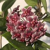 꽃피는호야(꽃남발중)|Hoya carnosa