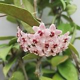 호야 카노사 Hoya canosa / 꽃피는 호야 #4|Hoya carnosa