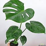 몬스테라 / 몬스테라델리시오사 / 공기정화식물 / 초특가 /한빛농원|