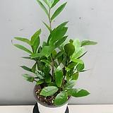 금전수 (동일품배송)|Zamioculcas zamiifolia