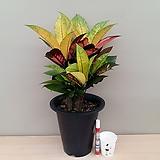 아이스크로톤(예쁜수형)|Codiaeum Variegatum Blume Var Hookerianum