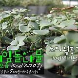 세잎돌나물(노지월동불로초/공기청정/가습효과) 다육모종 2개 1200원 (단품목 5000원 이상배송가능)|