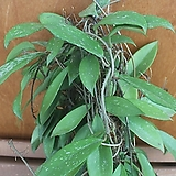 호야(카노사)|Hoya carnosa