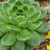 대품 문스톤09151|Pachyphytum Oviferum Moon Stone