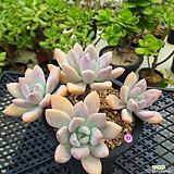 오팔리나 자연 Graptoveria Opalina
