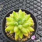 크라우쿰 Pachyphytum compactum var. glaucum
