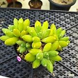 묵은 천대전송 Pachyphytum compactum