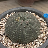 선인장-오베사 Baseball Plant (Euphorbia obesa)
