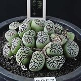3857-C.wittebergense  지문(枝紋)위트버젠스 20두|Conophytum Wittebergense