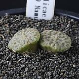 3860-C.angelicae ssp.tetragonum PVB9479  엔젤리케 테트라고눔|