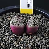 3864-Conophytum  obcordellum  紅紋   오브코델룸 홍문 2두|