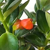 복어꽃이피는 네마탄서스|