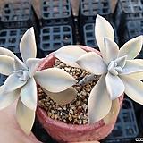 용월금 Graptopetalum paraguayense