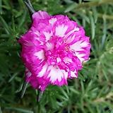 겹꽃(채송화)|