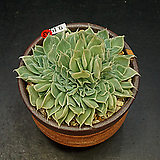 시뮬란스철화(9.15)|Echeveria simulans Ascension