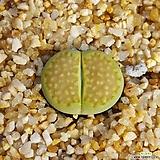 그린솝스톤 리톱스(Lithops Hallii 'Green Soapstone' C111A) 11