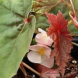 루비게이(베고니아)|Begonia