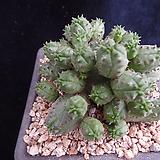 미니오베사382 Baseball Plant (Euphorbia obesa)