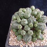 미니오베사417 Baseball Plant (Euphorbia obesa)
