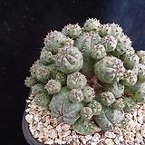 미니오베사440 Baseball Plant (Euphorbia obesa)