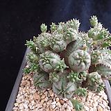 미니오베사394 Baseball Plant (Euphorbia obesa)